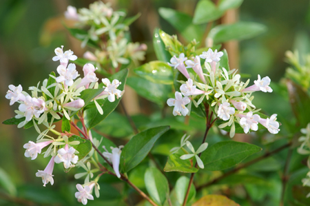 Abelia chinensis